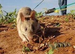 Еврейские крысы борются с палестинцами