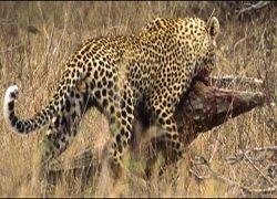 Поединок леопарда с крокодилом