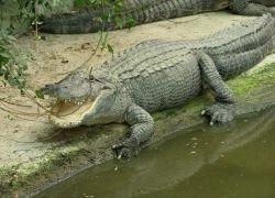 Полутораметрового аллигатора поймали в пруду в Латвии
