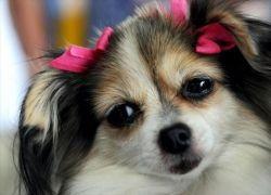Йорк победил на собачьем конкурсе красоты в Коста-Рике