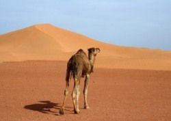 Австралийские верблюды: экологическое бедствие или бизнес?