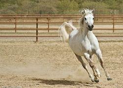Раскрыт секрет белых лошадей