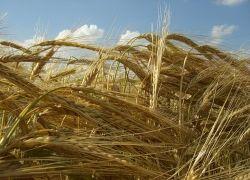 В этом году урожай может стать рекордным за последние 15 лет