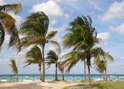 Неизвестная болезнь уничтожает пальмы Флориды