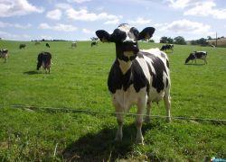 Коровы могут обеспечить людей электроэнергией