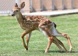 В США собаки атаковали шестиногого оленя