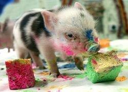 Россию охватила любовь к карликовым свиньям