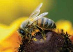 Пчелиный яд – эффективный антибиотик