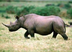 Индийские солдаты будут охранять носорогов