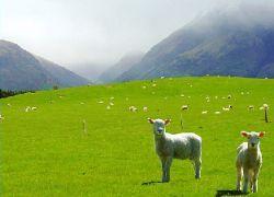 Овцы с GPS отправляют SMS-сообщения