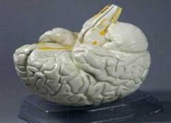 В будущем мозг людей станет меньше?