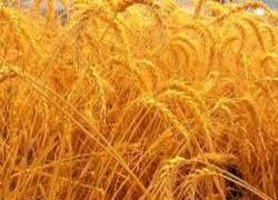 Цены на зерно падают, а урожай растет