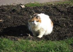 Кошка весом в 20 килограммов найдена в США