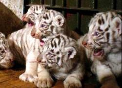 Собака в зоопарке Канзаса стала приемной матерью тигрятам
