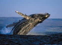 Огромный кит застрял в грязи у берега Британии
