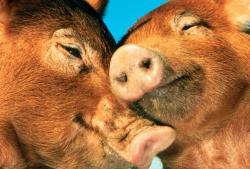 России угрожает свиная чума