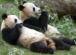 Четыре больших панды родились в неволе за одни сутки