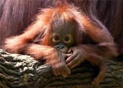 Половина видов приматов оказалась на грани вымирания