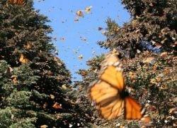 Царство бабочек в лесах Мексики