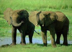 В Намибии разрешили отстреливать редчайших слонов