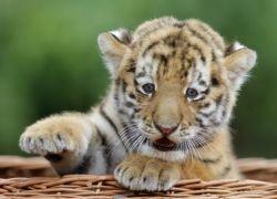Жителям Берлина представили детеныша сибирского тигра