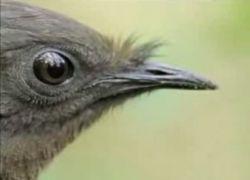 Птица, имитирующая различные звуки