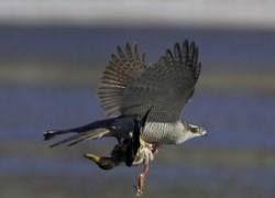 Московских ворон затравят ястребами