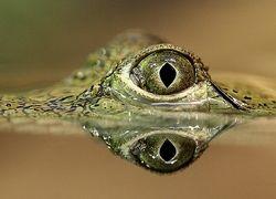 В Австралии нашли крокодила-каннибала