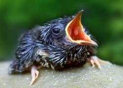 Кукушата копируют голос других птенцов генетически
