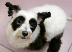 В Японии появился пес-панда