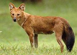 Гиеновидные собаки становятся редкостью в Африке