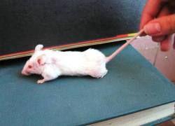 Новый метод лечения СПИДа успешно опробован на мышах