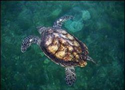 Черепахи могут нырять на глубину до 600 метров