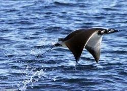 Мобула - летающий морской дьявол