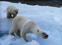 Почему акулы стали нападать на белых медведей?