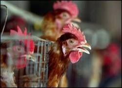 Птичий грипп уже проник в Африку