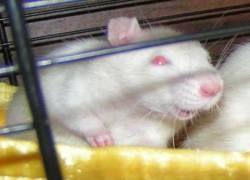 Крысы могут оценивать свою уверенность в принятии решений