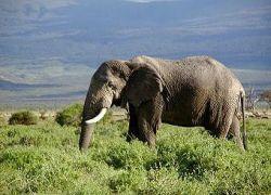 Хорошая память престарелых слоних помогает стаду выжить