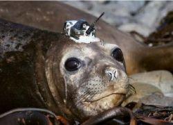 Морской слон-разведчик