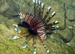 Карибские курорты атакованы ядовитыми рыбами