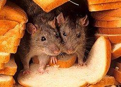 Беднейший индийский штат наладит разведение крыс на мясо