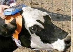 Фермеры США будут управлять своими коровами посредством GPS