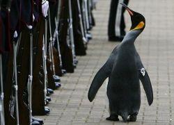 Королевский пингвин возведен в рыцарское звание