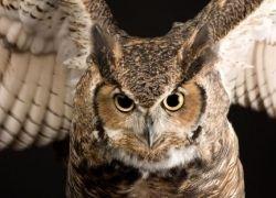 Секреты маскировки африканской совы