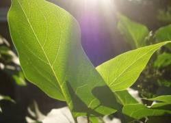 Ученые подглядели у растений механизм синтеза топлива