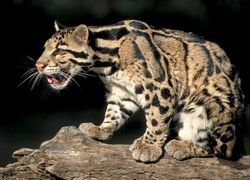 На Борнео засняли редкого дымчатого леопарда