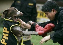 В Перу полицейских собак учат боксировать