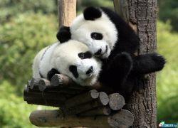Панда - ошибка эволюции?