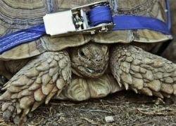 В зоопарке парализованную черепаху посадили на колеса