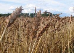 Иран впервые за 29 лет покупает пшеницу у США